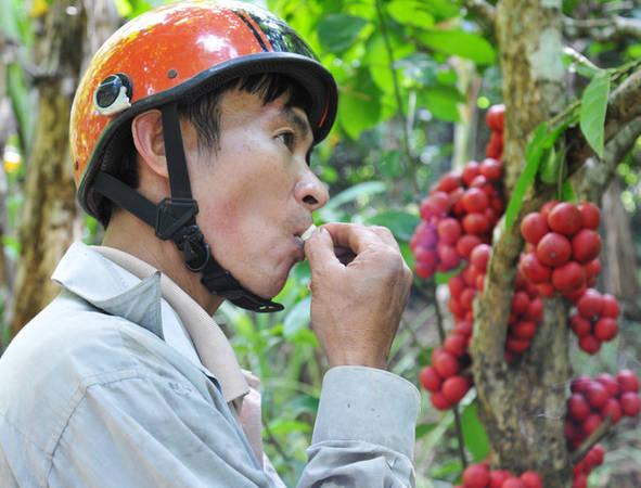 Thương lái đến vườn mua phải đến từng cây để hái, nếm thử. Nếu thấy trái ngọt mới mua. Ảnh: Dương Thanh Xuân