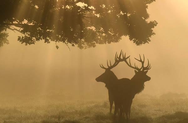 Hai chú nai ngơ ngác trong buổi sớm sương mù tại công viên Richmond, London, Anh. Ảnh: Toby Melville/Reuters