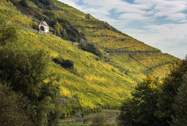 Vườn nho vào mùa thu hoạch được nhìn từ phía xa xa ở sườn đồi Vieux-Thann thuộc miền đông nước Pháp. Ảnh: Patrick Hertzog/AFP/Getty