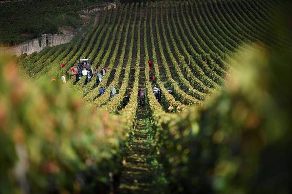 Người dân nhộn nhịp thu hoạch nho tại trang trại Armand Rousseau thuộc Gevrey-Chambertin, Pháp. Ảnh: Eric Feferberg/AFP/Getty