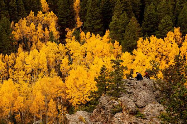 Rừng cây Aspen chuyển lá vàng rực gần khu vực Nederland, bang Colorado, Mỹ. Ảnh: Rick Wilking/Reuters