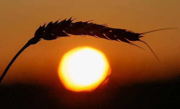 Một nhánh lúa mì trong hoàng hôn mùa thu tại vùng Krasnoyarsk, Nga. Ảnh: Ilya Naymushin/Reuters