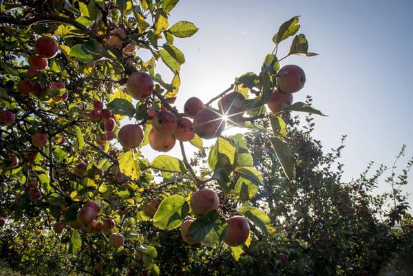 Mặt trời rọi chiếu trên những quả táo hồng đang chờ thu hoạch tại làng Mudgley, hạt Somerset, Anh. Ảnh: Matt Cardy/Getty