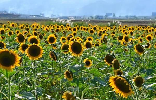 Mùa thu là mùa của những sắc màu kỳ diệu. Huyện La Bình (tỉnh Vân Nam) không chỉ nổi tiếng với thung lũng hoa cải vàng vào mùa xuân mà khi thu tới cũng khoác lên mình màu sắc sặc sỡ của hoa hướng dương.