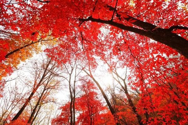 Diện tích Trung Quốc rất rộng lớn. Một phần ở phía Bắc có khí hậu và thổ nhưỡng tương đồng với Nhật Bản, Hàn Quốc. Do đó, tới đây vào mùa thu bạn cũng có thể bắt gặp những rừng cây, con đường rợp lá đỏ, lá vàng khoe sắc. Khung cảnh mùa thu ở thung lũng lá đỏ tại thành phố Giao Hà, tỉnh Cát Lâm khiến du khách xiêu lòng.