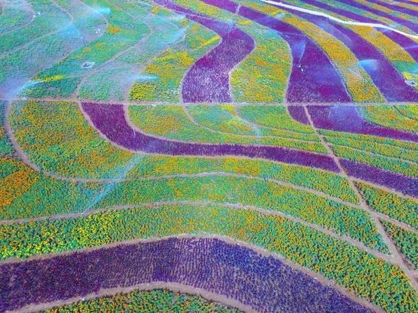 Tỉnh Quý Châu (phía Nam Trung Quốc) là nơi trồng nhiều loại hoa. Thời điểm tháng 9-11 là lúc biển hoa nhiều màu sắc vàng - tím tạo nên bức tranh sống động.