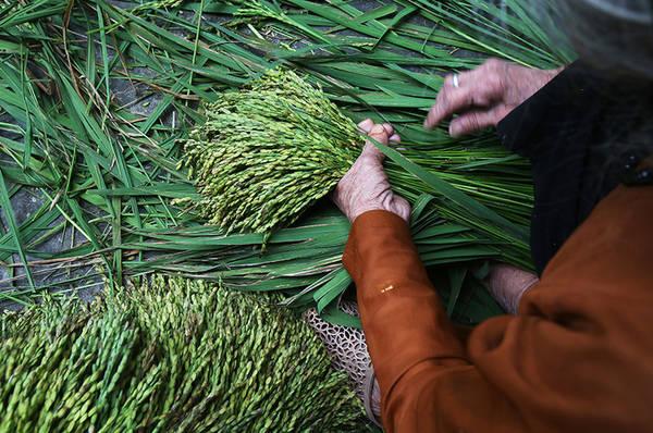 """3h sáng những gia đình có đồng ruộng quanh làng bắt đầu đi cắt những bông lúa trĩu bông xanh mướt còn ướt sương. """"Lúa trồng khoảng 3 tháng là thu hoạch để làm cốm, đây là giai đoạn hạt lúa nhiều sữa bởi nếu già quá có thể thành hạt gạo"""", bà Nguyễn Thị Hiền cho biết."""