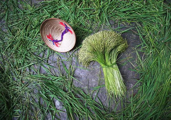 Buổi sáng trên ngõ nhỏ của con đường làng đông đảo người dân, chủ yếu là các cụ già ngồi thoăn thoắt nhặt tách bỏ lá lúa ra khỏi bông. Từng bó lúa sau đó chờ mang đi tuốt hạt.