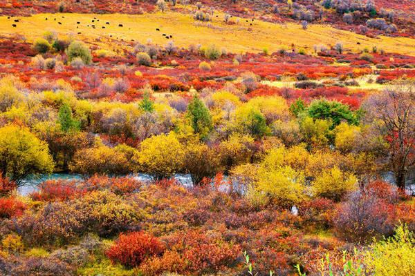 Một trong những khu vực có lá phong đỏ lớn nhất Trung Quốc là Miyalou ở Tứ Xuyên. Ảnh: China.org Vào mùa thu, gần 4.000km2 ở Miyalou được phủ màu đỏ, vàng cam rực rỡ, bên dưới là dòng suối trong chảy róc rách. Du khách đến Miyalou vào mùa thu cũng có cơ hội tham gia nhiều lễ hội của người dân tộc thiểu số ở địa phương.