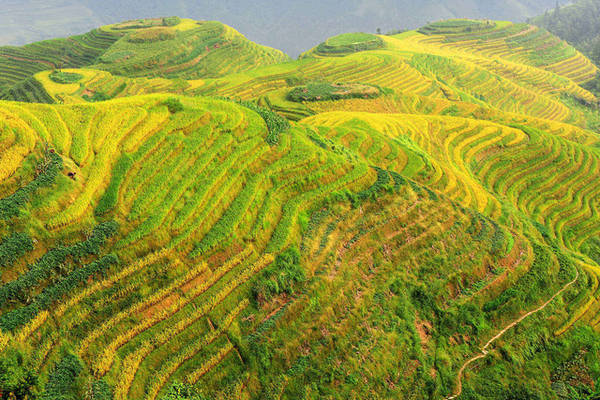 Ruộng bậc thang Longji Rice Terraces ở Quế Lâm. Ảnh: Hungchungchih/ Dreamstime Ruộng bậc thang Terraces Longji từ lâu đã là điểm đến nổi danh của Trung Quốc. Các ruộng bậc thang ở đây nằm ở độ cao từ 300 - 1110m, đẹp trong cả bốn mùa. Hình ảnh những ngôi nhà nhỏ, những người phụ nữ dân tộc khom lưng bên ruộng lúa trong vạt nắng chiều thu làm say lòng bao du khách đến Quế Lâm.