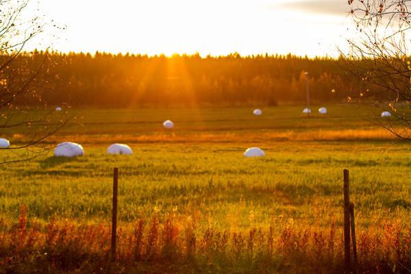 Tiết trời sang thu, những thảm lá chuyển màu cũng là mùa thu hoạch nông sản ở Phần Lan. Cỏ khô được người nông dân đóng thành từng bọc trắng, lưu trữ làm thức ăn cho động vật chăn thả trong mùa lạnh.