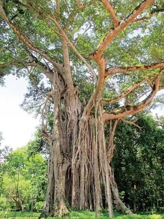 Một trong những cây đa đẹp nhất Việt Nam