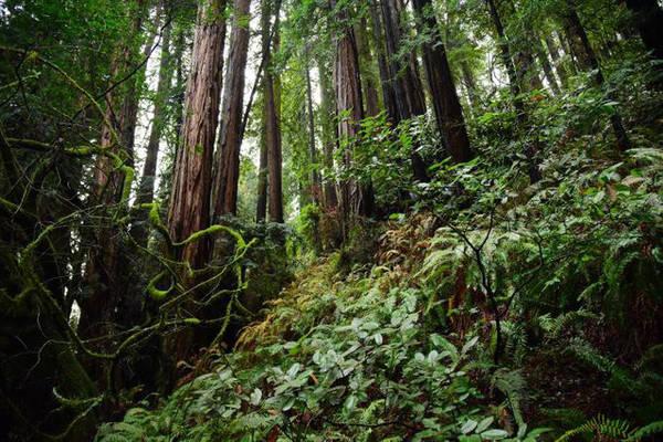 Rừng Muir là di sản quốc gia của Hoa Kỳ, nằm ở vùng ven biển Thái Bình Dương khoảng 16 cây số về phía Bắc San Francisco - Ảnh: NatGeo