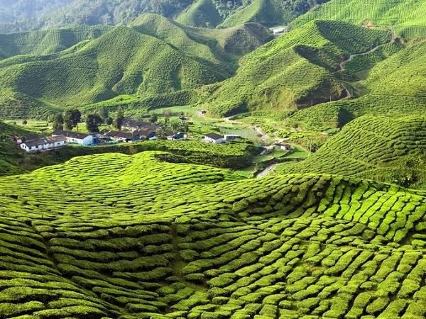 Cao nguyên Cameron thuộc tỉnh Pahang, cách Kuala Lumpur khoảng 300 km với những hàng chè xanh rì, trải dài theo sườn đồi là điểm đến yêu thích của những ai thích chụp ảnh ngoại cảnh.