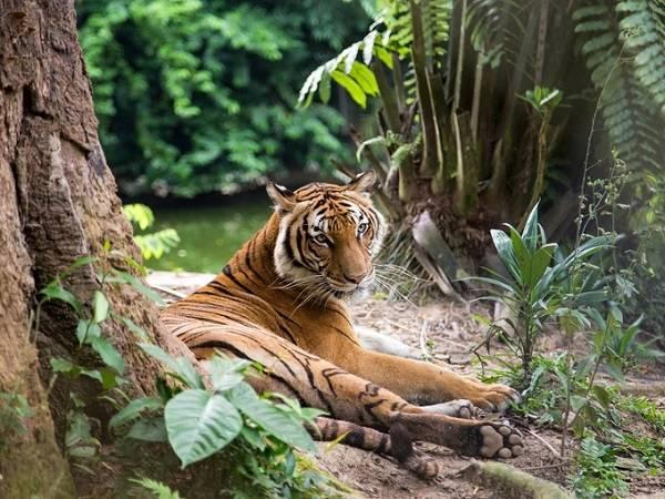 """""""Mục sở thị"""" loài hổ Malayan quý hiếm trong vườn Quốc gia Taman Negara và Khu bảo tồn rừng Guno ở Jeli là một trong những trải nghiệm thú vị khi du lịch Malaysia."""