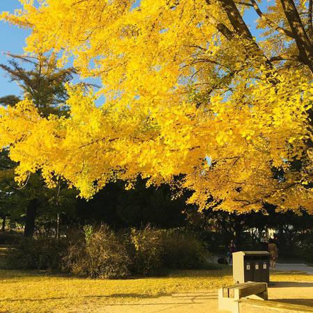 Hàn Quốc vào thu là thời điểm những cây rẻ quạt chuyển màu vàng rực - @gabriellehyde000