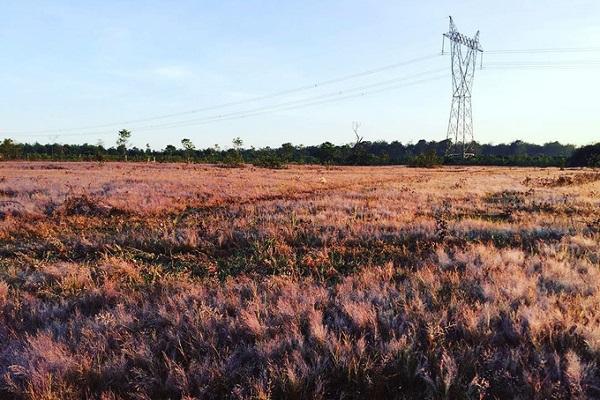 Khi tiết trời bắt đầu se lạnh, chuẩn bị sang đông thì cũng là lúc có một loại cỏ dại mọc thành từng mảng lớn và có màu hồng bắt mắt. Cỏ này vốn là cỏ lông chim, mọc thành từng cụm và có sức sống dẻo dai. Ảnh: Instagram.