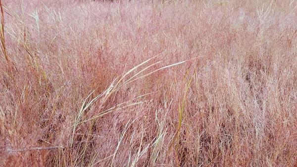 Nếu đến đây vào những ngày âm u, bạn sẽ cảm thấy nơi này không có gì đặc biệt. Nhưng vào ngày nắng cao, trời trong, những mảng cỏ mỏng manh màu hồng rực rỡ sẽ hiện ra và làm bạn say đắm. Ảnh: Instagram.