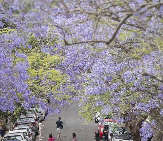 Grafton: Nằm dọc theo sông Clarence ở bắc New South Wales, thị trấn Grafton có 6.500 cây phượng tím là nơi tổ chức Lễ hội hoa jacaranda diễn ra từ 31/10 - 7/11.