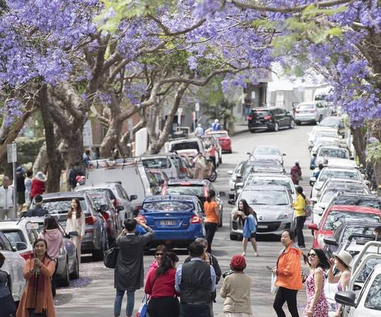 Những ngày này, hoa jacaranda (phượng tím) đang nở rộ ở Sydney, Australia. Nhiều khách du lịch đổ xô đến các đường phố có loài hoa này để chiêm ngưỡng, chụp ảnh. Giao thông ở phố McDougall ở khu Kiribili, Sydney bị tắc nghẽn khi khách du lịch đến từ châu Á tới chụp ảnh dưới những cây jacaranda.