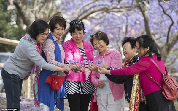 Tháng 10 và tháng 11 hàng năm, các vùng ngoại ô phía bắc Sydney ngập trong sắc tím của hoa phượng bung nở khi xuân về, thu hút khách du lịch và các gia đình đến chụp ảnh.