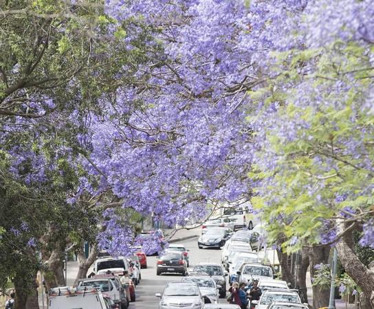 Jacaranda (phượng tím) có nguồn gốc từ các vùng nhiệt đới và cận nhiệt đới như Mexico, Trung Mỹ, Nam Mỹ, Cuba, Jamaica và Bahamas. Tại Sydney, các khu vực có hoa phượng tím đẹp là North Shore, Inner Sydney, Sydney City....