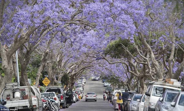 Khu ngoại ô phía đông Sydney: Các khu vực Paddington, Woolahara, Double Bay có phượng tím nở rộ từ tháng 10 đến tháng 11. Trong đó, phố Oxford, Five Ways ở khu Paddington là địa điểm tuyệt vời để chiêm ngưỡng vẻ đẹp của phượng tím.