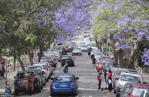 Khu Sydney City: Bạn có thể đi bộ từ vườn Bách Thảo Hoàng Gia, qua Circular Quay và The Rocks để ngắm các cây phượng tím, chụp ảnh ở các công trình nổi tiếng như cầu cảng Sydney, nhà hát Sydney...