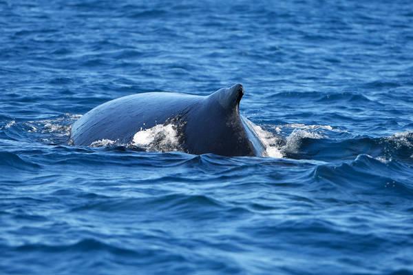 Nhiều nhóm du khách quốc tế đi du thuyền ra đại dương ngắm cá heo và cá voi.