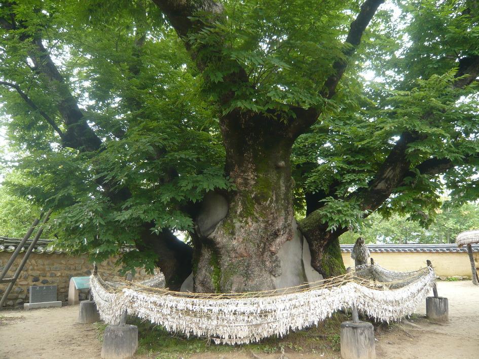 Shinmok là những cây to trước cổng làng tương tự cây đa của làng quê Việt Nam. Trên shinmok có nhiều mảnh vải giúp xua đuổi ma quỷ. Ảnh: travelheart.me.