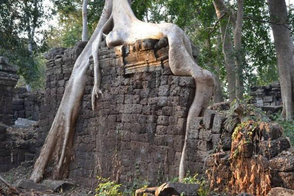 Dựa vào cảnh vật, dường như thiên nhiên đã chiến thắng. Bộ rễ của những cây cổ thụ bám chặt vào những bức tường vẫn đứng vững, giống như hòa vào thành một cấu trúc. Hệ thống dây leo lan tỏa khắp các ngóc ngách, bao phủ lên những tảng đá mang dấu ấn chạm khắc cổ. Nhưng điều đáng chú ý nhất của khu đền Banteay Chhmar là sự im lặng gần như hoàn toàn, chỉ bị phá vỡ bởi tiếng xe máy từ xa, tiếng vỗ cánh của côn trùng và tiếng chim hót. Ảnh: Visit Banteay Chhmar.