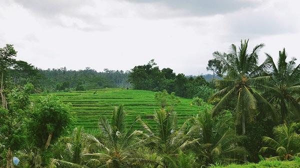 Không chỉ là trung tâm văn hóa của Bali, Ubud còn hấp dẫn khách bởi các hoạt động ngoài trời, thiên nhiên hoang sơ. Nổi bật nhất ở Ubud là ruộng bậc thang, được bao quanh bởi những hàng dừa xanh rì, tạo sự lạ mắt.