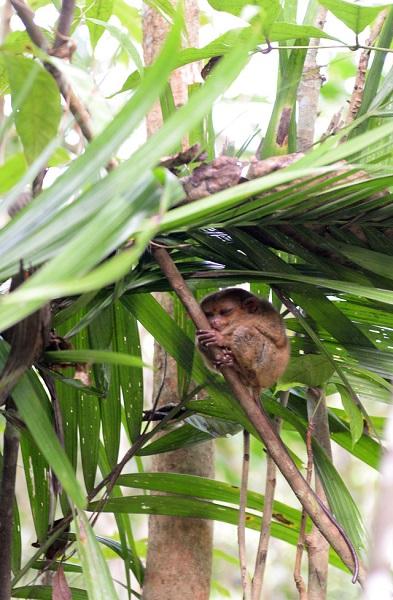 Tarsier - loài linh trưởng nhỏ nhất thế giới đang được bảo tồn trên đảo Bohol
