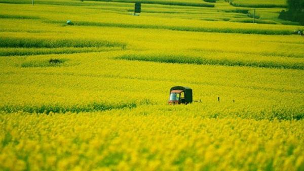 Xen giữa những thửa ruộng cải dầu là các con đường mòn hoặc đường đổ bê tông nhỏ, xe máy, xe chở khách có thể di chuyển dễ dàng. Khi vào mùa, tất cả các mảnh ruộng đồng loạt nở rộ, phủ một màu vàng bạt ngàn đến tận chân trời. Hoa cải vàng nở còn thu hút những cánh bướm, bầy ong mật, đem tới bức tranh mùa xuân rực rỡ.