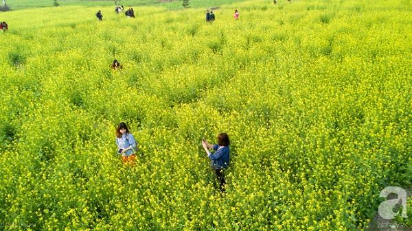 Cúc họa mi vừa tàn, Hà Nội đã kịp vào vụ hoa cải vàng đẹp mê mẩn