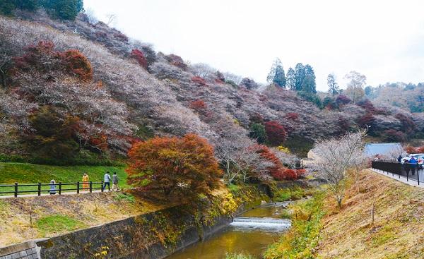 Nếu như hoa anh đào mùa xuân được gọi là sakura thì hoa anh đào mùa thu ở Obara được gắn với tên gọi shiki-zakura. Loài hoa này nở hai lần một năm, lần đầu tiên là vào mùa xuân và lần thứ hai là khoảng cuối tháng 11. Hiện tượng độc đáo này thu hút 150.000 du khách mỗi năm tới đây để chiêm ngưỡng.