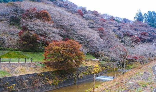 Nhật Bản được biết đến là xứ sở hoa anh đào với hàng chục điểm ngắm hoa khắp cả nước vào mùa xuân, khoảng tháng 3-4. Thế nhưng, những người yêu loài hoa tinh tế này còn có thể thưởng lãm vẻ đẹp của chúng vào tháng 11, tại một nơi duy nhất ở Nhật Bản - đó là ngôi làng Obara, tỉnh Aichi.