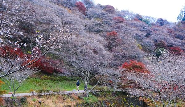 Trong tiết trời giá lạnh, hàng nghìn gốc anh đào khoe sắc hồng nhạt, ẩn hiện giữa làn sương mờ, tạo nên khung cảnh lãng mạn, thần tiên, tựa như những đám mây hồng bồng bềnh trôi. Du khách còn có thể chứng kiến những mảng màu pha trộn giữa màu đỏ cam của lá mùa thu và màu hồng tím của hoa anh đào.