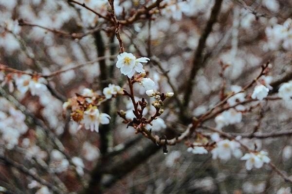 Tới đây vào đúng thời điểm, bạn có thể tham gia lễ hội Obara Shiki-zakura diễn ra ở công viên Obara Fureai từ 1 đến 30/11.