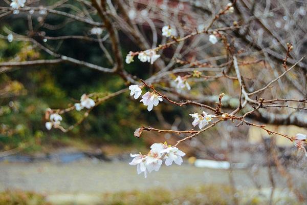 Gốc anh đào zakura đầu tiên được trồng ở Obara từ những năm 1800, khi một vị samurai tên là Fujimoto Genseki mang loài cây quý hiếm này về từ một ngôi đền ở Nagoya. Sau đó, loài hoa này phát triển tốt với điều kiện thổ nhưỡng ở đây, do đó được nhân rộng, trở thành loài hoa đặc trưng của khu vực này.