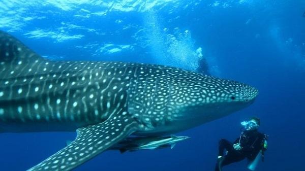 Bơi cùng cá mập voi ở Maldives  Những con cá mập voi sống rất nhiều ở vùng biển ngoài khơi Maldives, khu vực quần đảo South Ari. Các chuyên gia địa phương sẽ chính là người hướng dẫn du khách trong những chuyến khám phá này, bắt đầu từ khu nghỉ dưỡng đảo Mirihi trên con thuyền gỗ dài 17 m. Ảnh: Mirihiisland.