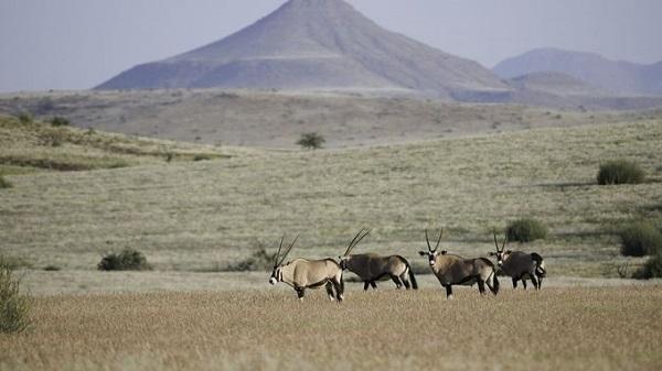 """Trekking tìm tê giác ở Namibia  Cùng với các chuyên gia từ tổ chức """"Bảo vệ tê giác"""", du khách sẽ bắt đầu hành trình từ trước khi mặt trời mọc ở khu cắm trại tê giác nằm tại vùng hoang mạc rộng lớn của Namibia. Chuyến đi cho du khách trải nghiệm khám phá tự nhiên, tìm hiểu về các loài động thực vật đang bị đe dọa. Ảnh: Desert Rhino Camp."""