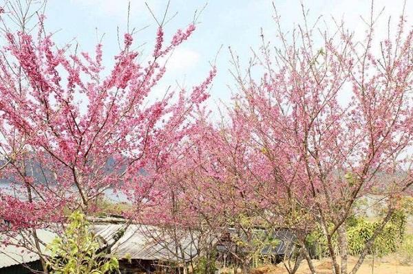 Điện Biên  Đảo hoa ở hồ Pá Khoang, huyện Điện Biên là điểm đến hot nhất của tỉnh trong thời gian này. Tại đây trồng hàng chục cây hoa anh đào có nguồn gốc từ Nhật Bản, bung nở thành từng chùm màu hồng tông đậm, nhạt khác nhau.  Lễ hội hoa anh đào diễn ra tại đảo từ ngày 5 đến 7/1 với nhiều hoạt động văn hóa, văn nghệ và tham quan. Hoa anh đào đã nở và sẽ tiếp tục khoe sắc trong suốt tháng 1. Từ trung tâm thành phố bạn đi khoảng 20 km về xã Mường Phăng, sau đó đi thuyền 10 phút ra đảo Ảnh: Anh Thiết.