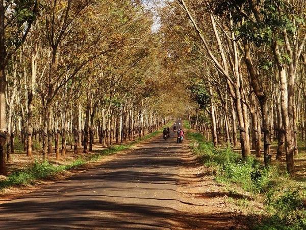 Gia Lai  Ngoài mùa hoa cà phê, Tây Nguyên còn rất được du khách yêu thích khi bước vào mùa cao su thay lá. Gia Lai, nơi có diện tích rừng cao su lớn, là điểm đến lý tưởng thời gian này. Những cánh rừng đồng loạt chuyển màu lá sang vàng, đỏ như khung cảnh ở châu Âu. Đến khi cây trút hết lá, trơ cành khẳng khiu, khu rừng lại biến đổi với những khung hình lạ mắt mới. Du khách có thể tìm đến những cánh rừng cao su này ở huyện Chư Sê cách Pleiku 40 km về phía nam. Ảnh: Nguyễn Hồng Thiện.