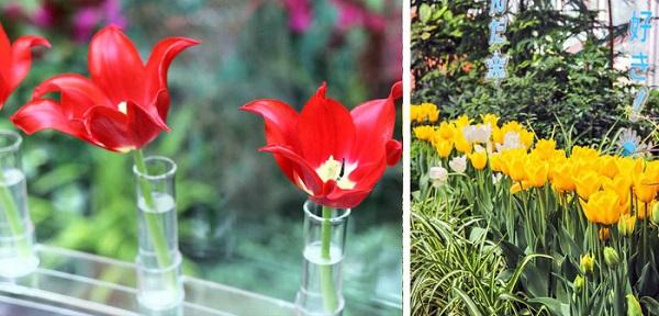 cung-dien-hoa-tulip-ruc-ro-o-nhat-ban-ivivu-2