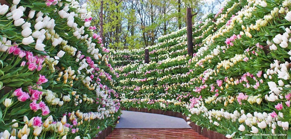 cung-dien-hoa-tulip-ruc-ro-o-nhat-ban-ivivu-6