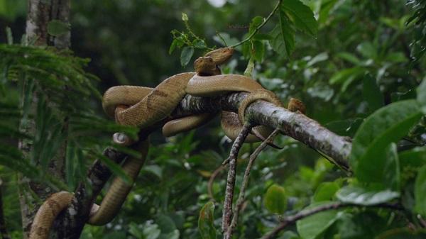 Trong số đó, khoảng 2.000-4.000 cá thể rắn hổ lục đầu giáo vàng sống rải rác khắp nơi. Loại trên đảo có nọc độc mạnh gấp 4-5 lần loại sống trên đất liền. Ảnh: NatGeo.