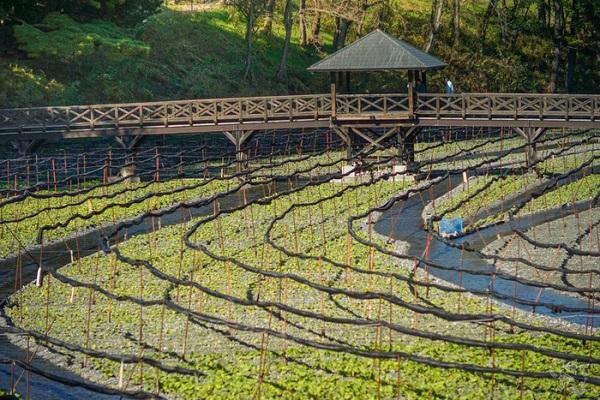 Daio là trang trại mù tạt lớn nhất Nhật Bản - Ảnh: Notes of Nomads