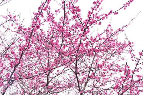 Nằm ở độ cao trên 1.000 m, vùng đất này có mùa đông không mưa và mùa hè không nóng, nhiệt độ chênh lệch giữa ngày và đêm lên đến 10 độ C. Những yếu tố này đã tạo sự thuận lợi trong việc phát triển giống hoa Nhật Bản tại đây.