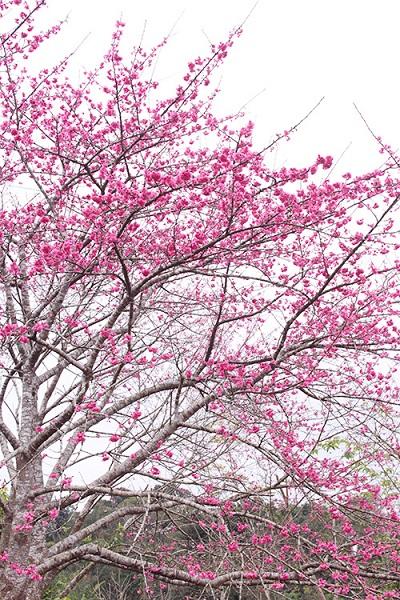 Giống hoa anh đào trồng trên đảo có nguồn gốc từ Nhật Bản, được gieo trồng cách đây hàng chục năm. Từ 10 hạt giống ban đầu vào năm 2006 đã được nhân ra hàng trăm cây khác như hiện nay.
